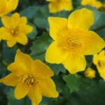 Caltha_palustris_flower