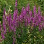 Lythrum_salicaria_Blutweiderich_GartenAkademie