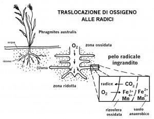 traslocazione_ossigeno_radici